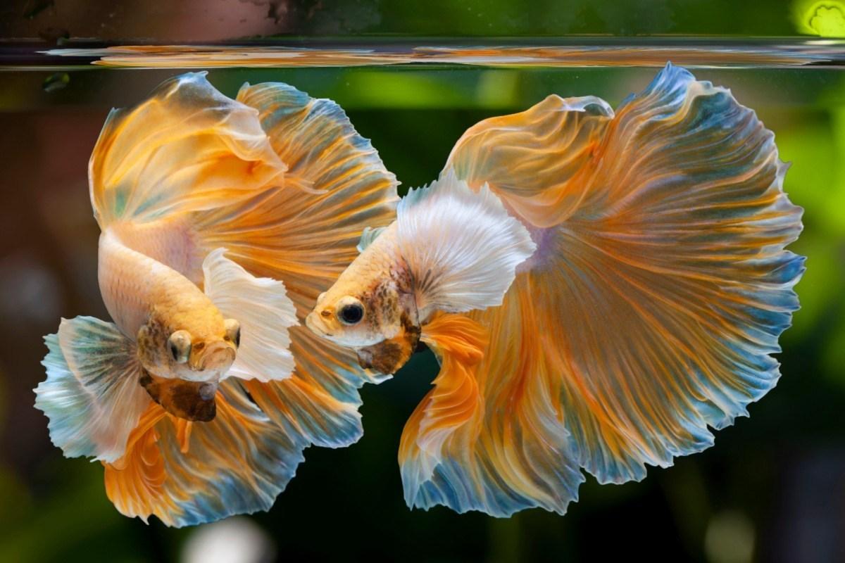 ปลากัด สัตว์น้ำประจำชาติของไทย