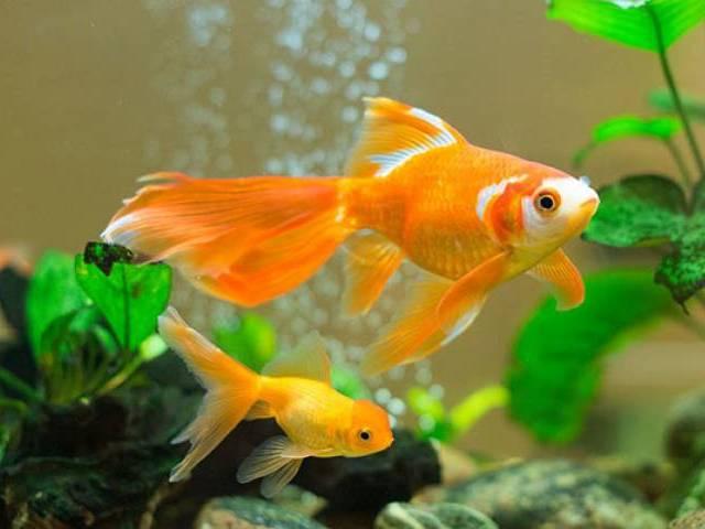 ปลาทอง สัตว์เลี้ยงที่เลี้ยงง่ายจริงหรือไม่