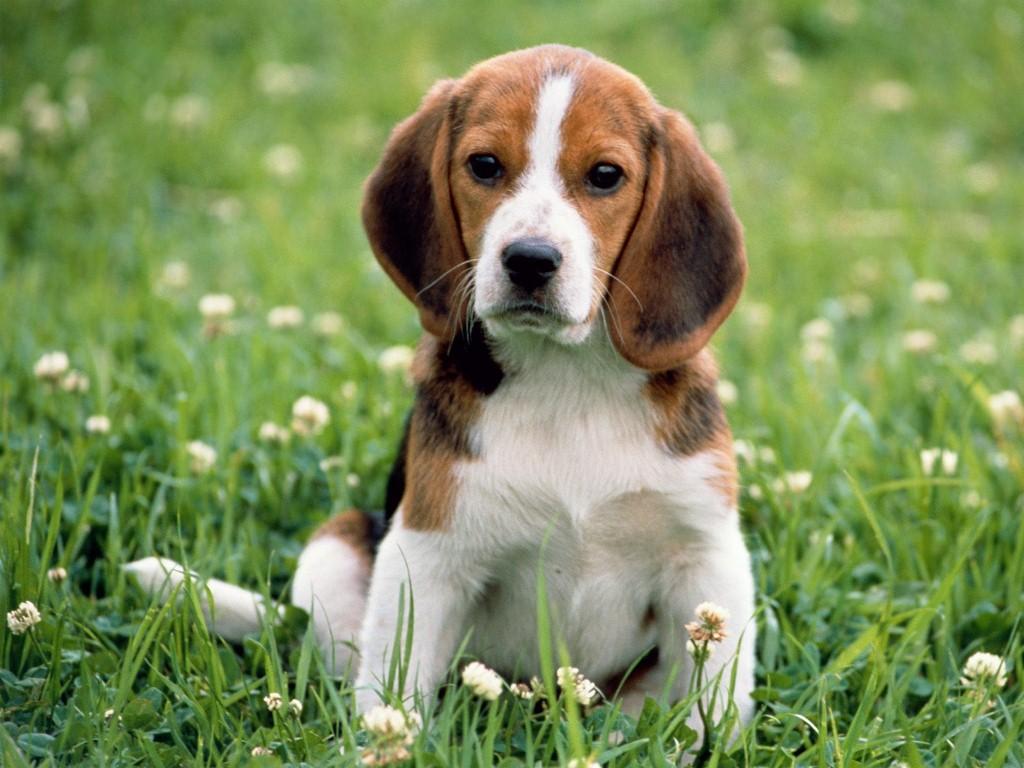 สุนัขบีเกิ้ล สุนัขพันธุ์เล็กจมูกดีไวต่อกลิ่นมากๆ