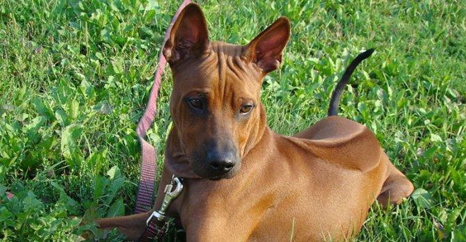 สุนัขพันธุ์ไทยหลังอาน ที่มีความโดดเด่น