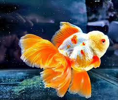 ปลาที่นิยมเลี้ยง ที่มีสีสันสวยงาม