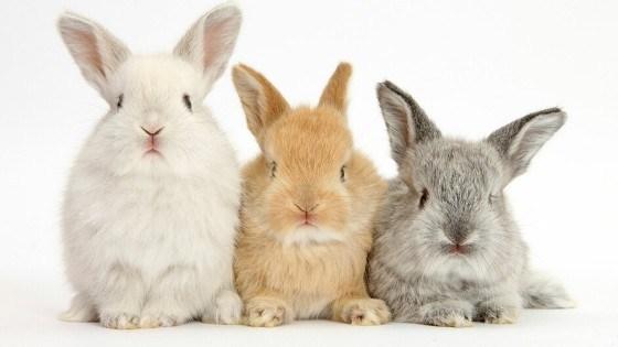 ฮอลแลนด์ลอป กระต่ายขนนุ่มน่ารัก