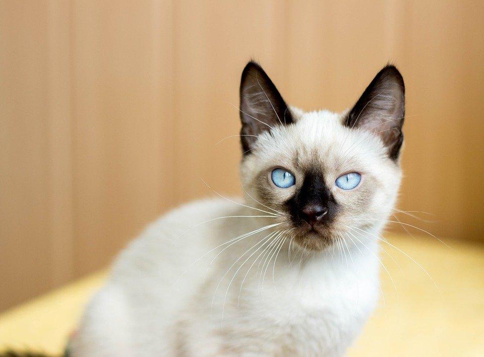 แมววิเชียรมาศ ถือเป็นแมวที่ถูกบันทึกเอาไว้ในพงศาวดาร