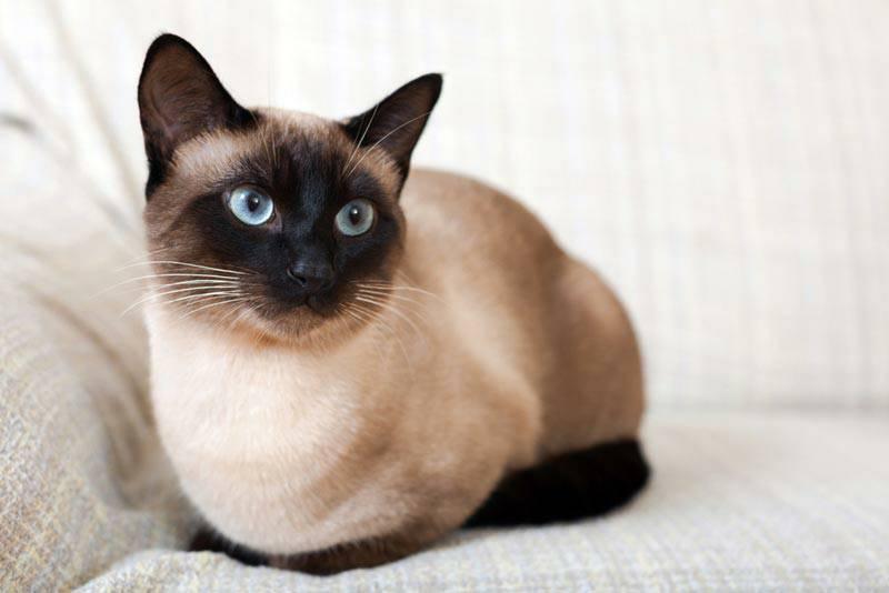 แมววิเชียรมาศ แมวต้นตระกูลสายพันธุ์ไทย