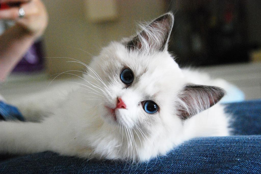 แมวเปอร์เซีย แมวขนยาวแสนน่ารักที่นิยมเลี้ยง