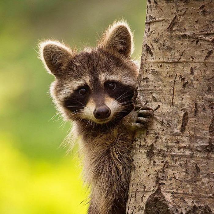 แรคคูน เป็นสัตว์ที่ชอบปีนป่ายต้นไม้