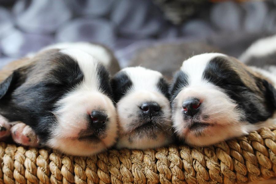 การเลี้ยงลูกหมา การเตรียมที่นอน