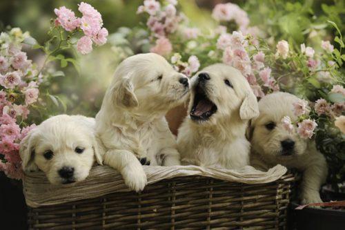 การเลี้ยงลูกหมา ต้องเตรียมตัวดูแลสุขภาพ