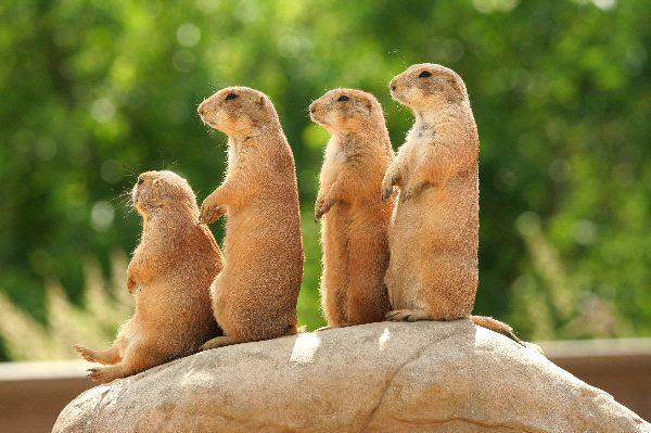 Prairie dog Exotic Pets