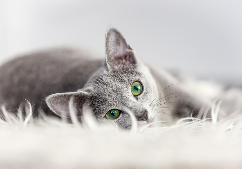 สาเหตุแมวขนร่วง ที่ส่งผลถึงปัญหาด้านสุขภาพของแมว