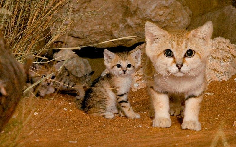 สายพันธุ์แมวหายาก สายพันธุ์ Sand Cat