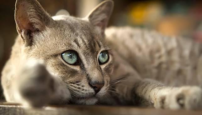 สายพันธุ์แมวไทยหายาก
