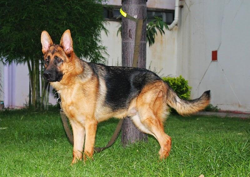 สุนัขพันธุ์ German Shepherd มีสัญชาตญาณผู้อารักขา