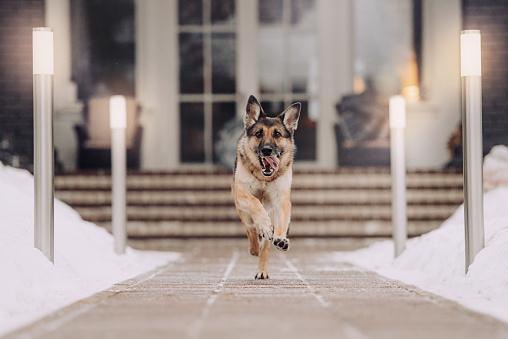 สุนัขพันธุ์ German Shepherd