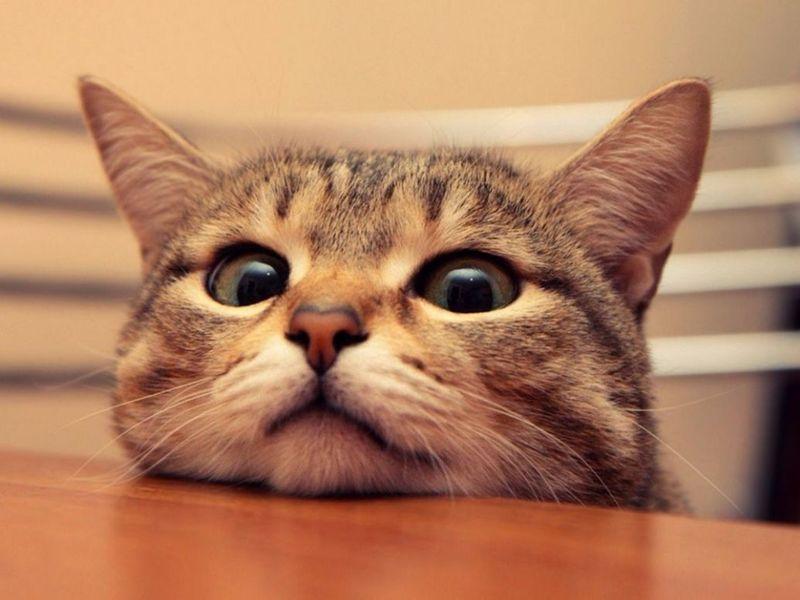 พฤติกรรมของแมว