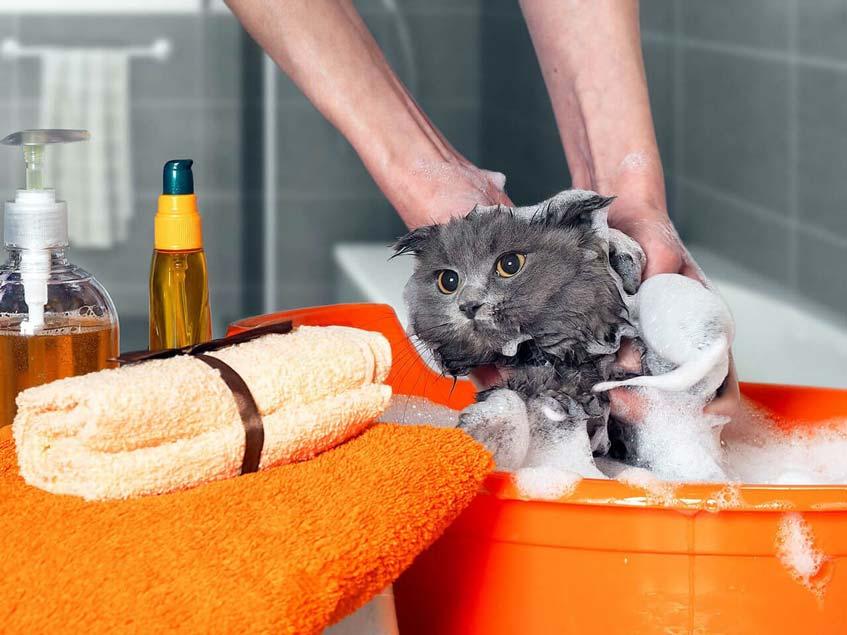 วิธีอาบน้ำให้แมว ที่ต้องเตรียมอุปกรณ์ให้พร้อมก่อน
