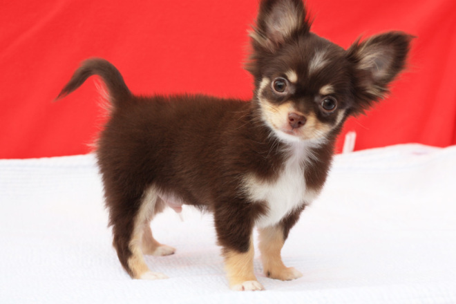 สายพันธุ์สุนัขเลี้ยงง่าย ชิวาวา สุนัขพันธุ์เล็ก ตัวกลม ตาโต