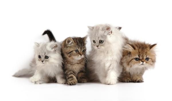 สายพันธุ์แมวยอดฮิต ที่มักถูกคัดเลือกไปแสดงภาพยนตร์
