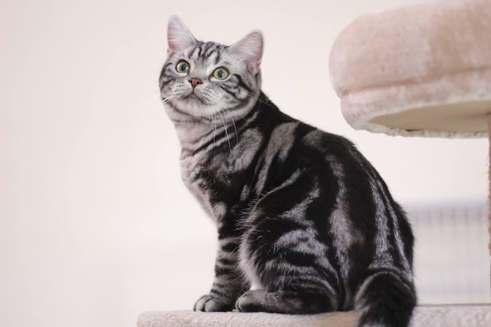 สายพันธุ์แมวยอดฮิต American Shorthair