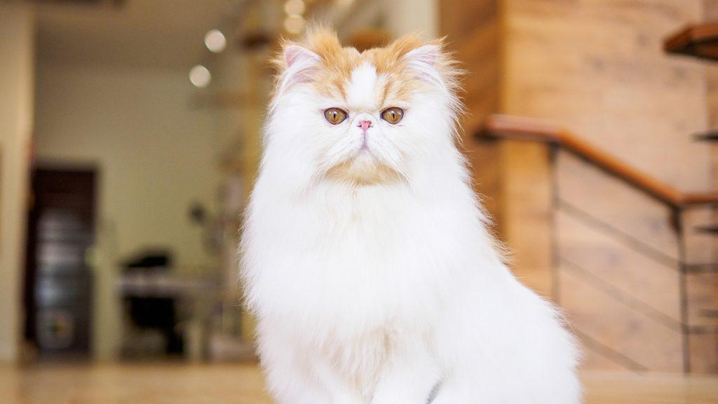 สายพันธุ์แมวยอดฮิต Persian