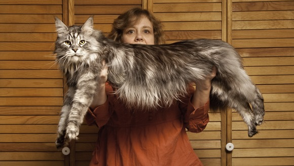 แมวยักษ์เมนคูน แมวขนยาวที่มีหน้าตาคล้ายกับแรดคูน