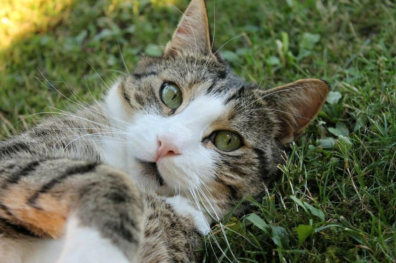 ตำแยแมว สมุนไพรพื้นบ้านคู่ใจแมวเหมียว พืชสำหรับคนรักแมว