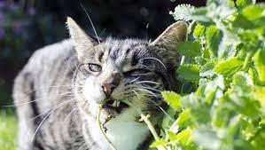 ต้นไม้ที่แมวกินได้ ชื่นชอบของแมวเหมียวที่ทาสแมวจำเป็นต้องมี