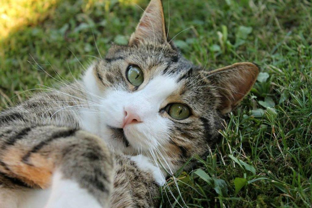 Catnip กัญชาแมว พืชตระกูลมิ้นที่เป็นน้ำมันหอมระเหย