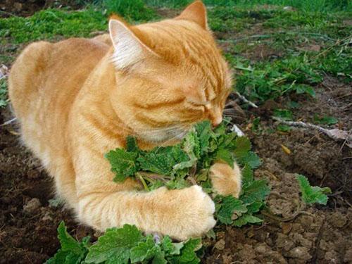 Catnip กัญชาแมว  พืชตระกูลมิ้นที่ได้รับความนิยมมาจากทางยุโรปเอเชียและแอฟริกา