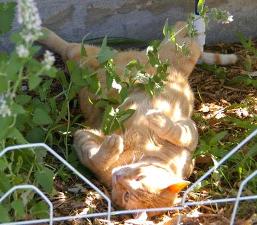Catnip กัญชาแมว พืชมหัศจรรย์ที่ช่วยให้เจ้าแมวเหมียวมีอารมณ์เคลิบเคลิ้ม