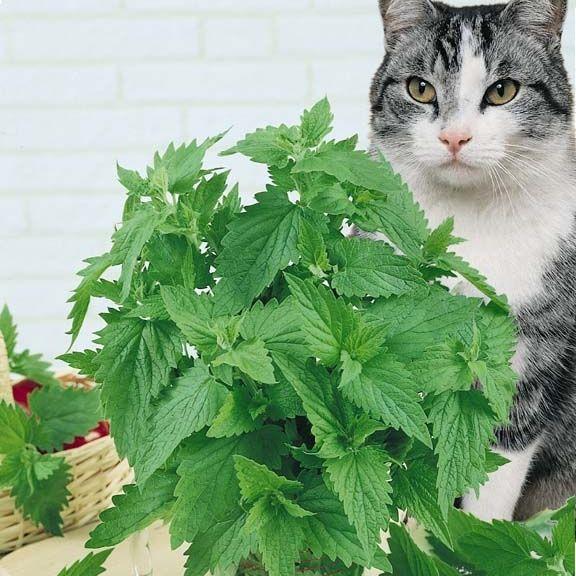 Catnip กัญชาแมว