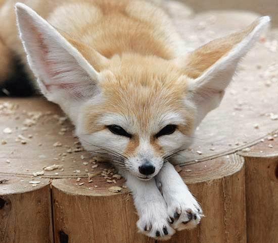 จิ้งจอกน้อย Fennec fox