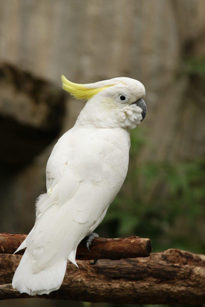 นกกระตั้วหงอนเหลือง