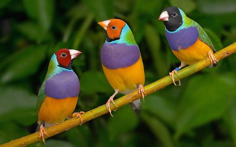 นกฟินซ์ (7 สี)