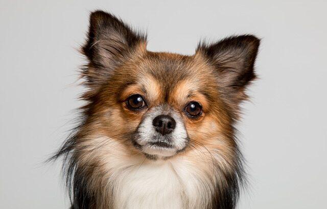 สุนัขจิ๋ว (สายพันธุ์ชิวาวา)