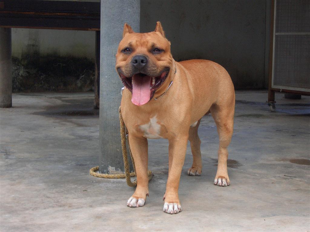 สุนัขสายพันธุ์ดุ เทรนด์สัตว์เลี้ยงมาแรงไม่แพ้สุนัขสายพันธุ์ขี้อ้อน
